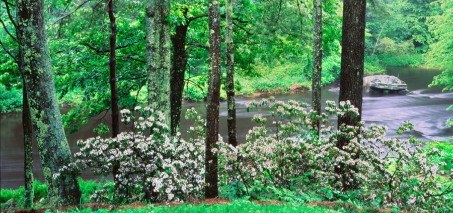 Mountain Laurel along the Millers River, Athol