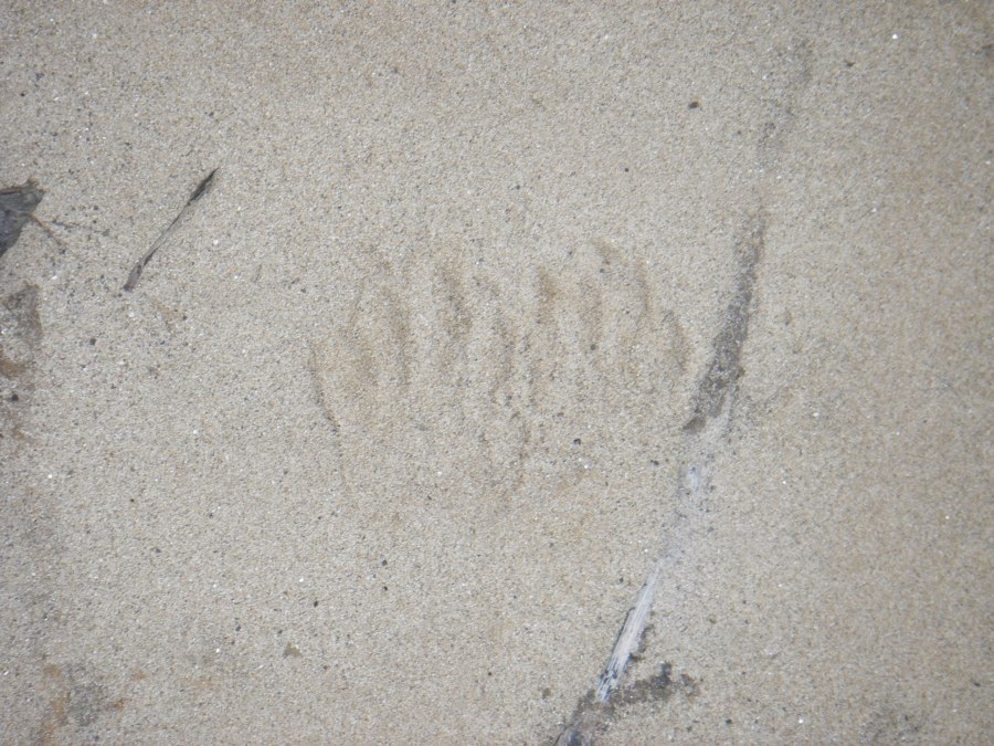 Animal tracks along the Millers River by Keith Davies