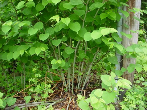 Invasive Japanese Knotweed